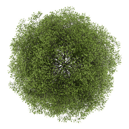 Foto de top view of small-leaved lime tree isolated on white background - Imagen libre de derechos