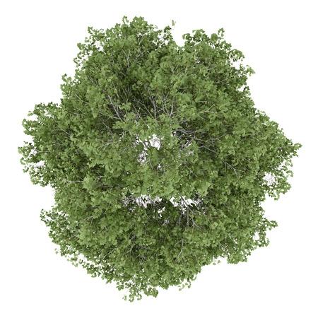 Foto de top view of silver birch tree isolated on white background - Imagen libre de derechos