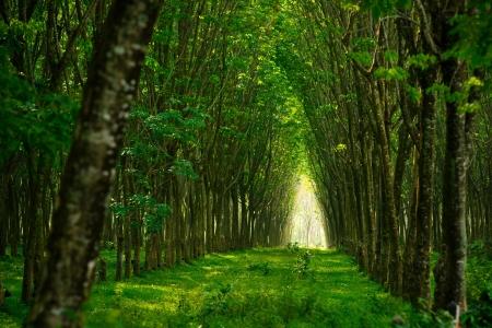 Photo pour Plantation of rubber trees in Thailand - image libre de droit