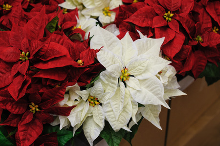 Photo pour Red and white Flowers Christmas star in decor - image libre de droit