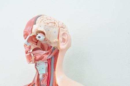 Foto de human anatomy model - Imagen libre de derechos