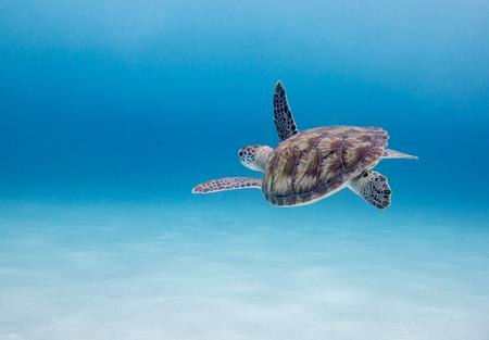Photo for Green Sea Turtle  Chelonia mydas , Klein Curacao, Dutch Caribbean, Curacao - Royalty Free Image