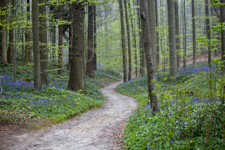 Photo for A path in a bluebell forest Tranendal teardrop valley Hallerbos Belgium - Royalty Free Image