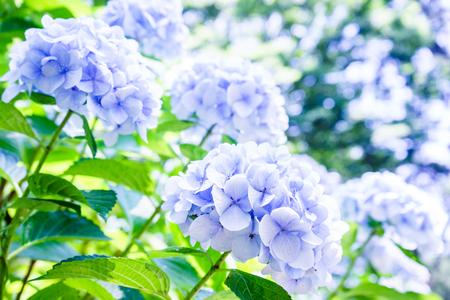 Photo for Hydrangea - Royalty Free Image