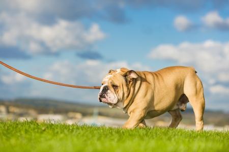 Beautiful dog english bulldog walking on a leash