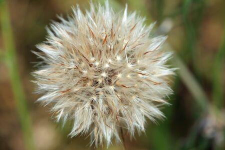 Photo pour Macro of a dandelion in full bloom. - image libre de droit