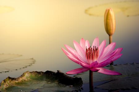Photo pour The Pink Lotus Flower - image libre de droit