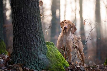 Photo pour Hungarian hound vizsla dog in forest - image libre de droit