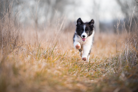 Foto de Running border collie puppy in winter time - Imagen libre de derechos