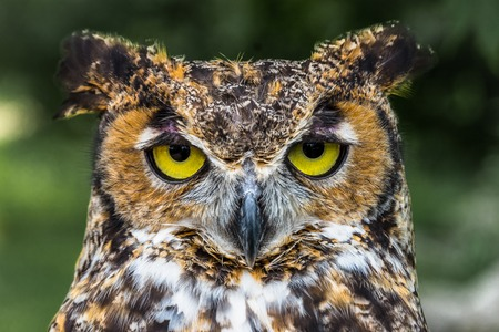 Photo for Great Horned Owl Close Up face with yellow eyes - Royalty Free Image