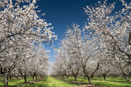 Foto de Almond trees blooming in orchard against blue, Spring sky  - Imagen libre de derechos