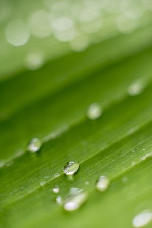 Foto de Blur background copyspace water drop on green leaf in rainy season - Imagen libre de derechos