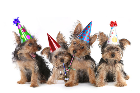 Photo for Happy Birthday Theme Yorkshire Terrier Puppies on White Singing - Royalty Free Image