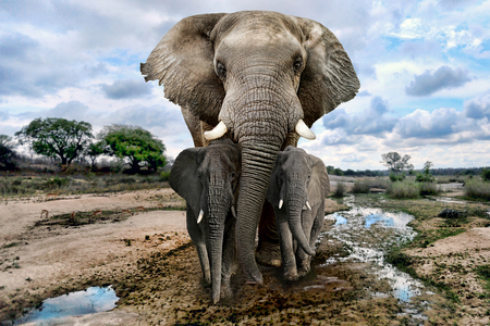 Photo pour Beautiful Images of of African Elephants in Africa - image libre de droit