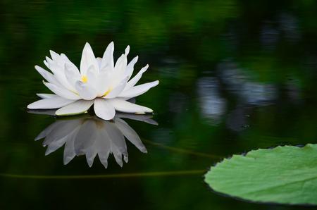 Photo pour White lotus in the pond - image libre de droit