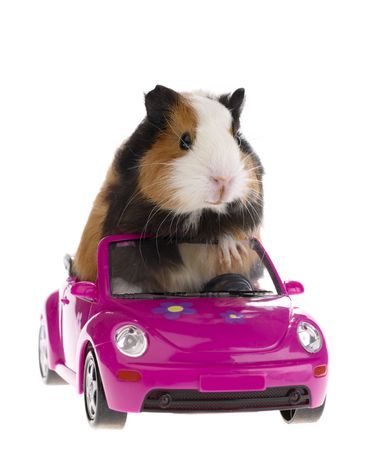 guinea pig sitting in a car on white background