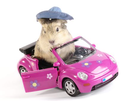 Shaggy Driver. Guinea pig in the funny pink car. Not isolated image