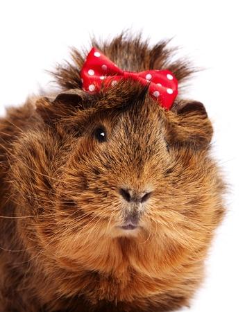 Funny guinea pig portrait over white background