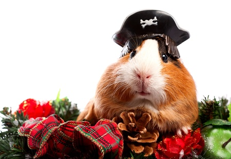 Funny Animal. Guinea Pig Christmas portrait