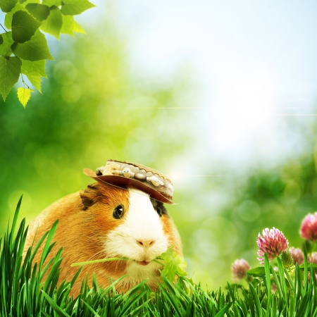 Funny guinea pig or cavia. Abstract natural backgrounds