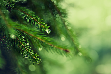 Foto de Pine tree with morning dew on the twig, abstract natural backgrounds - Imagen libre de derechos