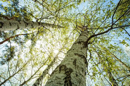 Photo pour Birch forest, abstract natural backgrounds - image libre de droit