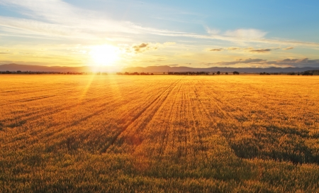 Photo for Sunset over wheat field. - Royalty Free Image