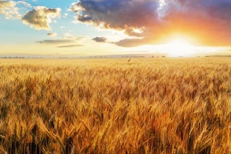 Foto de Sunset over wheat field - Imagen libre de derechos