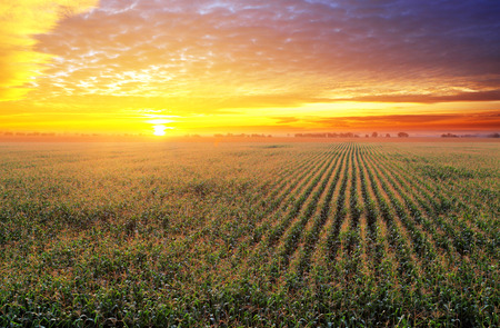 Photo pour Corn field at sunset - image libre de droit