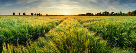 Foto de Rural landscape with wheat field on sunset - Imagen libre de derechos