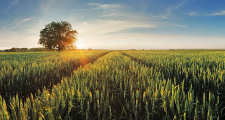 Photo pour Wheat field at sunset - image libre de droit