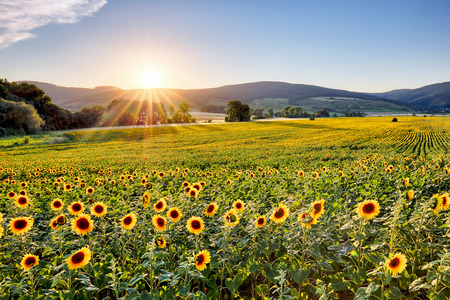 Photo pour Sunflower field at sunset - image libre de droit