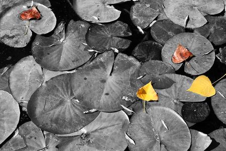 Photo pour top view image of fall leafs at pond , selective color. - image libre de droit
