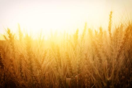 Photo pour photo of wheat field at sunset. - image libre de droit