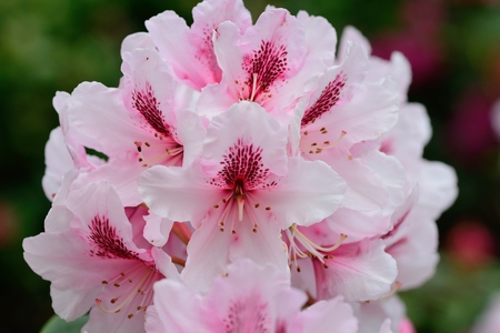 Photo pour Close up of pink rhododendron flowers - image libre de droit