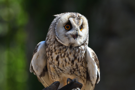 Portrait of a long eared owl (Asio otus) perching on a gloved hand during a falconry demonstration