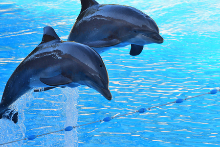 Photo pour Two dolphins jumping out of the water during a dolphin show - image libre de droit