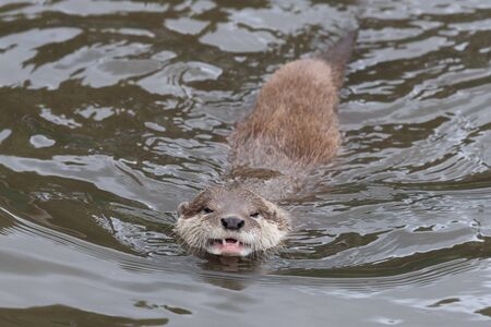 Photo pour Portrait of an Asian small clawed otter (amblonyx cinerea) swimming in the water - image libre de droit