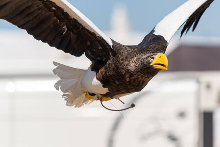 Photo pour Close up of a Stellers sea eagle flying in a falconry demonstration. - image libre de droit