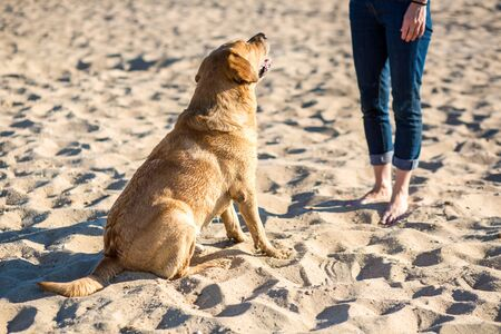 Young female training labrador retriever dog on the beach. The Sitting For Dog command