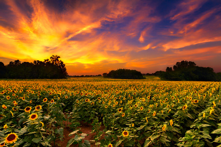 Photo pour A sunflowerfield in Kansas with a beautiful sunset - image libre de droit