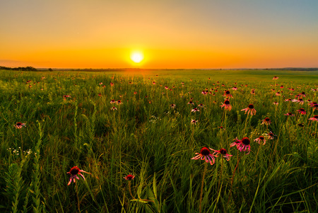 Foto de Sunset in a Prairie Field of Purple Coneflowers.  Wildflowers are an important part of a prairie and the restoration of them. - Imagen libre de derechos