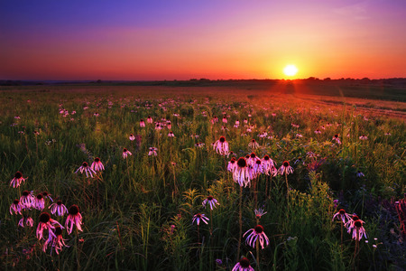 Foto de Purple coneflowers at twilight on Wah'Kon-Tah Prairie. - Imagen libre de derechos