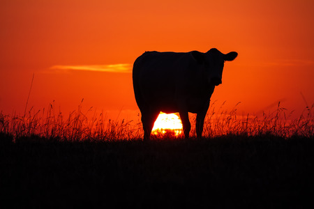 Photo pour Cow's silhoutte at sunset in a meadow with the sun glowing - image libre de droit