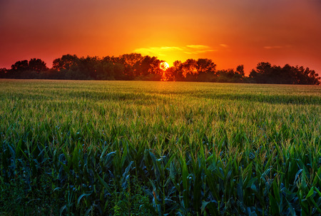 Foto de Field of corn in the Midwest at sunset over all the stalks of corn - Imagen libre de derechos