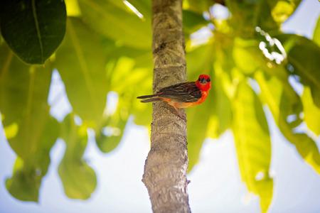 Foto de The red fody, called Foudia madagascariensis, sitting on a branch in the tree - Imagen libre de derechos