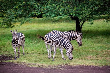 Photo for Herd of zebras and ostrich in the wild in park on Mauritius - Royalty Free Image