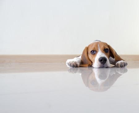 Portrait cute beagle puppy dog