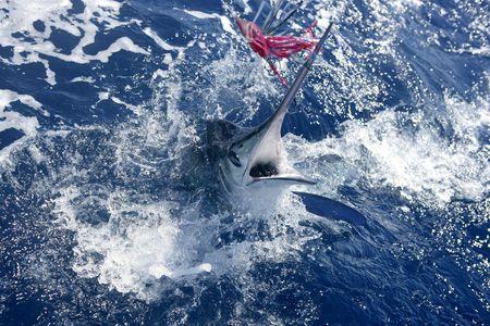Atlantic white marlin big game sportfishing over blue ocean saltwater