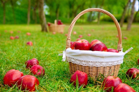 Photo for apples in basket on a grass trees field in red color - Royalty Free Image